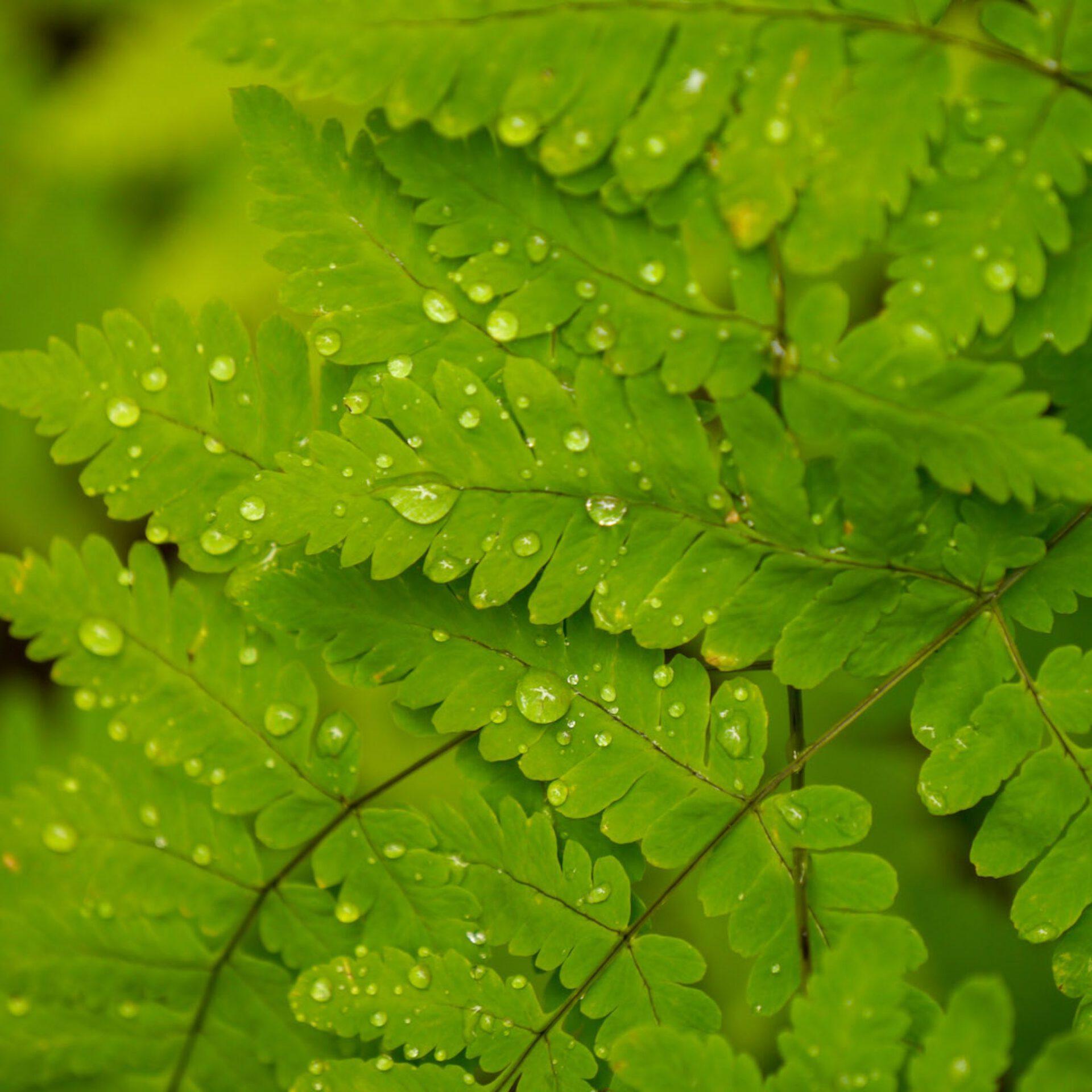 norway leaf rain drop green