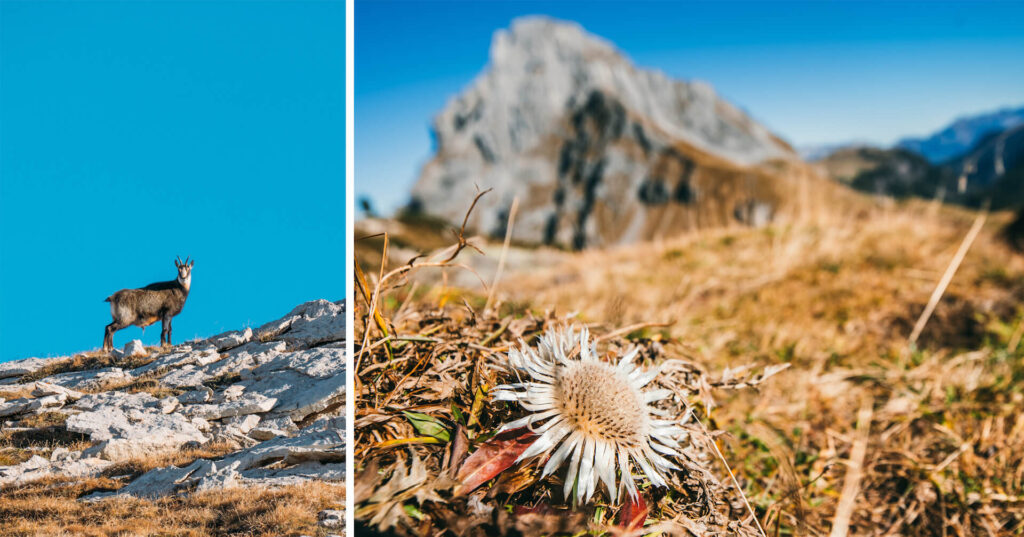 switzerland heidiland autumn fall hiking sun chamois mountain snow flower