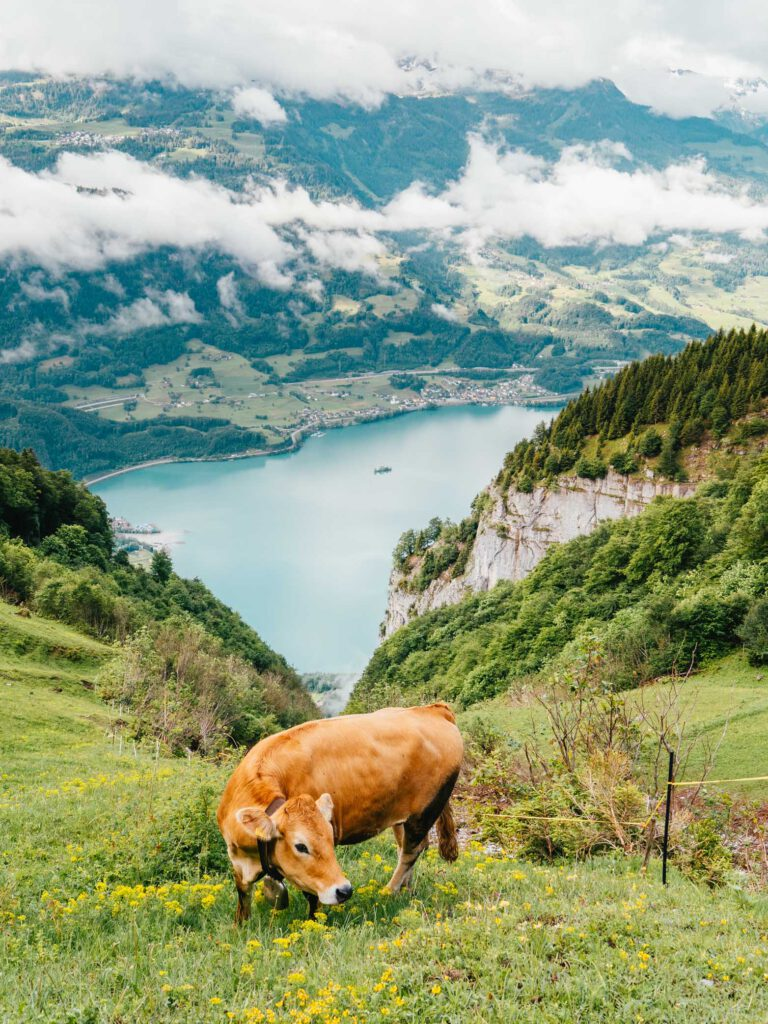 switzerland heidiland walensee cow mountain lake clouds