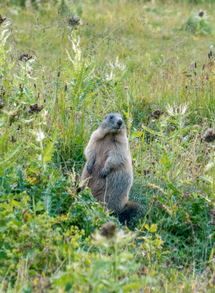 lech zuers vorarlberg groundhog grass green animal hiking