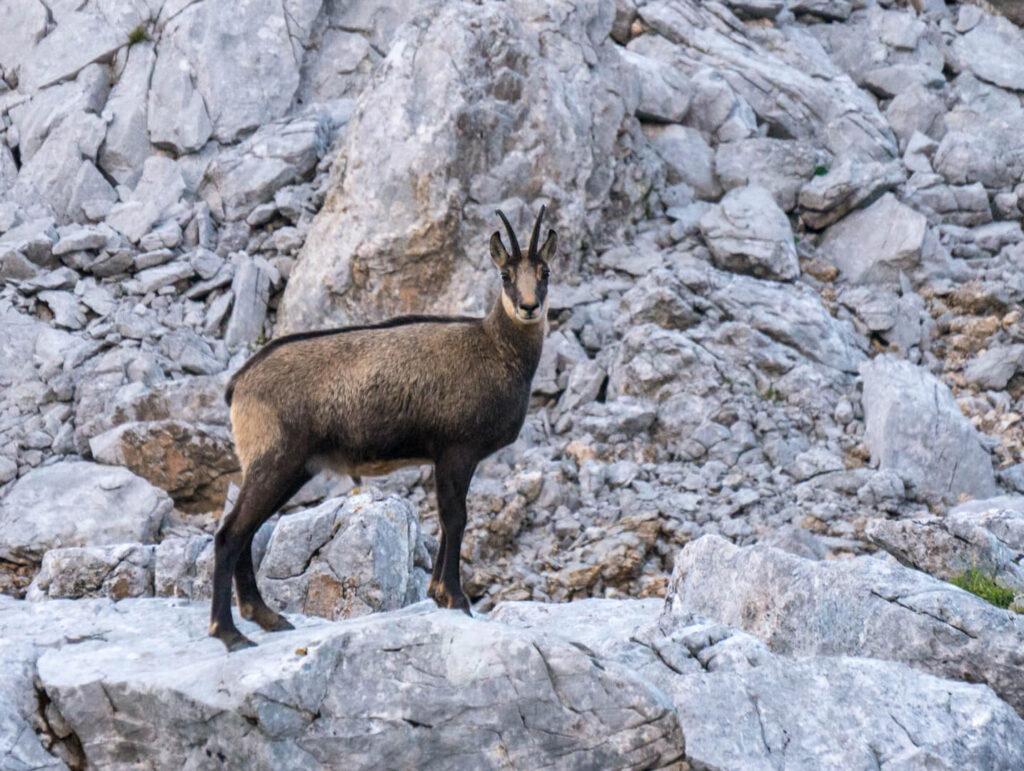 lech zuers vorarlberg rock stone grey chamois hiking