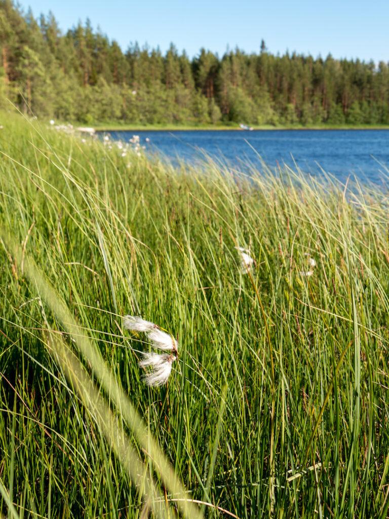 norway lake gras trees flower