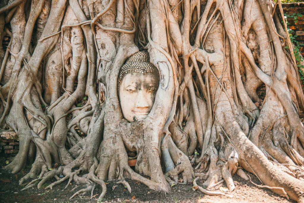 thailand ayutthaya bangkok day-trip temple tree head