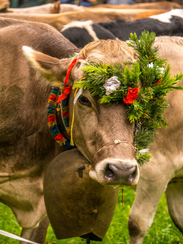 vorarlberg montafon kuh almabtrieb kuhglocke