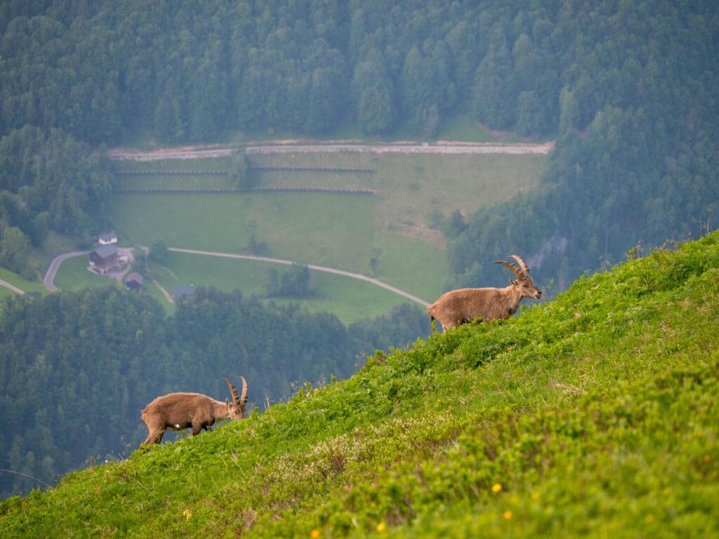 vorarlberg bregenzerwald steinbock wandern berg kanisfluh