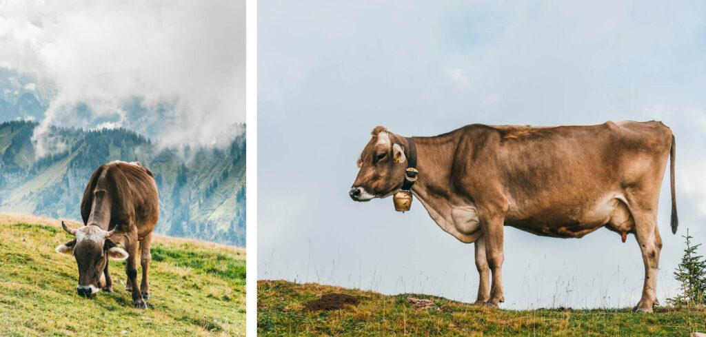 vorarlberg bregenzerwald bezau winterstaude hiking clouds cow